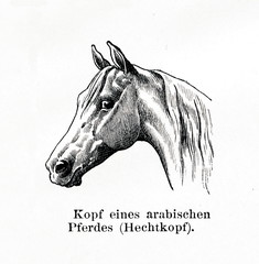 Dished head on an arabian horse (from Meyers Lexikon, 1896, 13/770/771)