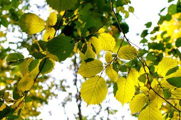 Green leaves of hazel in the sun
