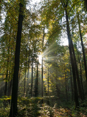 The sunbeams in a forest at morning