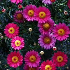 chrysanthemum daisy from top view