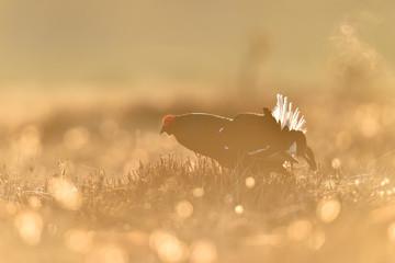 Black grouse at lek in moor