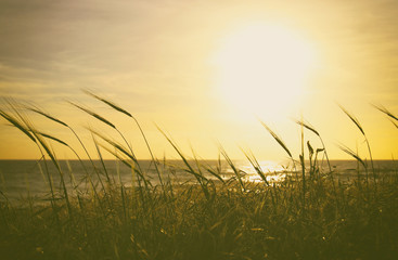 background of beach and sea with wheat field at sunset colors.