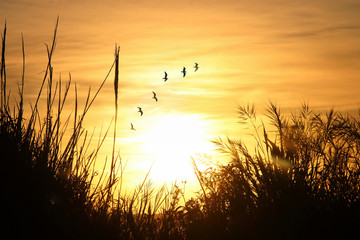 image of sunset flying birds in the sky and reeds silhouette