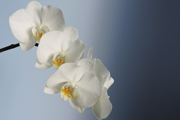 White orchids, blue background