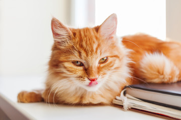 Cute ginger cat looking coquettishly. Close up portrait of fluffy pet. Cozy morning at home.