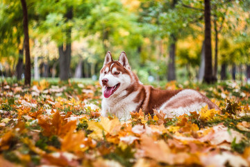 Red Siberian husky in autumn leaves