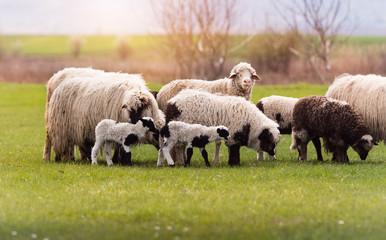 Herd of sheep on pasture - meadow in spring