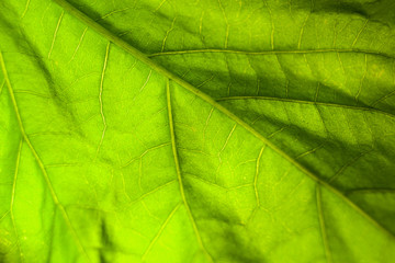 Macro abstract background of bright green leaf with veins.