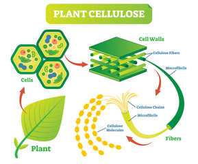 Plant cellulose biology vector illustration diagram.
