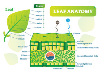 Leaf anatomy vector illustration diagram. Biological macro scheme poster.