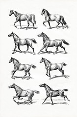 Horse IV - gait (from Meyers Lexikon, 1896, 13/770/771)