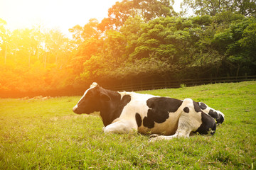 In the sunny morning, a cow lies on green grass. In the pasture. In Asia.