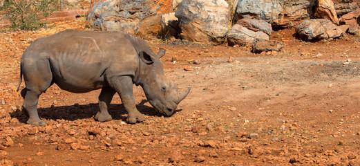 Baby-Nashorn, freilebend in Namibia