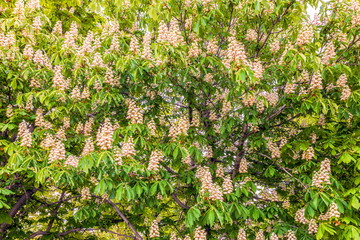Blossoming horse chestnut ordinary on a spring sunny day, background