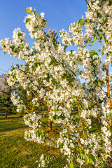 Young blossoming pear on the embankment of the Volga River, early morning, Spring day