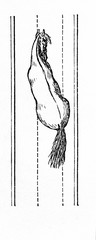 Horse 's way of walking - haunches-out (from Meyers Lexikon, 1896, 13/770/771)