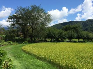 Paddy fields in Japan