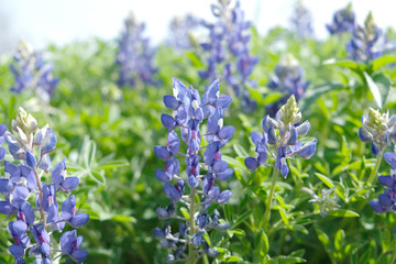 Bluebonnet field in bloom with purple flowers, shows flower in nature during spring.