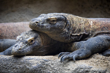 Pair of komodo dragons.