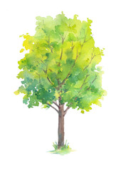 Tree with green leaves isolated on white background. Hand painted in watercolor.