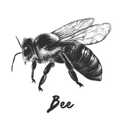 Vector engraved style illustration for posters, decoration and print. Hand drawn sketch of bee in monochrome isolated on white background. Detailed vegetarian food drawing.