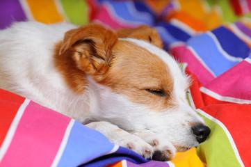 Terriermix schläft im Bett