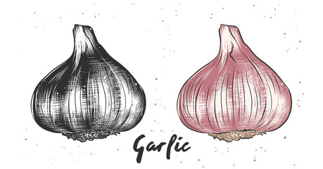 Vector engraved style illustration for posters, decoration and print. Hand drawn sketch of garlic in monochrome and colorful. Detailed vegetarian food drawing.