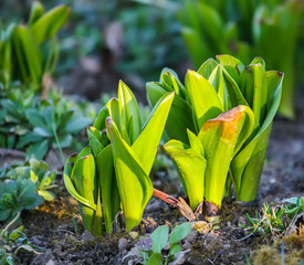 Young plants of tulip flowers growing in spring garden