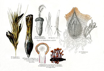Various stages in the life cycle of fungus Claviceps purpurea (from Meyers Lexikon, 1896, 13/790/791)