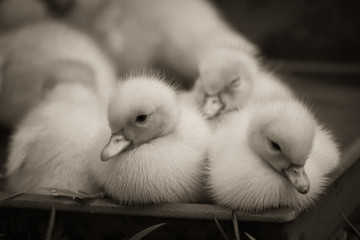 portrait of cute little baby fluffy muscovy ducklings close up in black and white