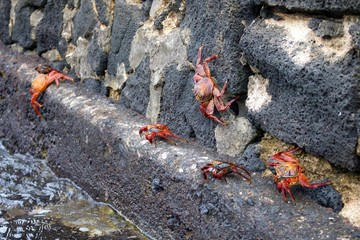 Crabs in The Galapagos