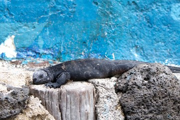 Marine Iguana from Galapagos