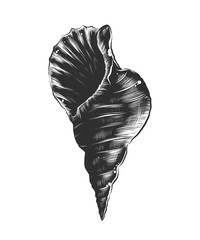 Vector engraved style illustration for posters, decoration and print. Hand drawn sketch of sea shell in monochrome isolated on white background. Detailed vintage woodcut style drawing.