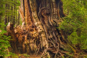 Trunk of cedar tree