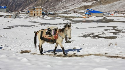 Horse walking uphill on a path in Langtang, Nepal. 