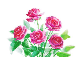 Pink roses in a bouquet on a white background - watercolor painting