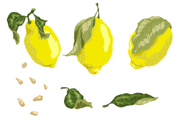 Set with 3 juicy lemon fruits, leaves and seeds in graphic colored design vector drawing