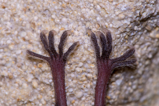 Lesser horseshoe bat (Rhinolophus hipposideros) feet. Close-up of rare bat hanging from rock in a cave in Somerset, UK, with sharp claws holding onto rock