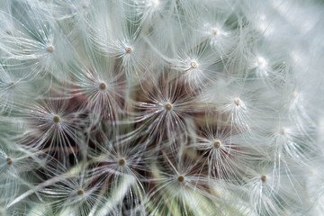 Spring and dandelions