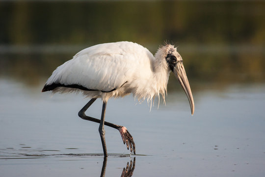 Wood stork wading and fishing in the morning sun