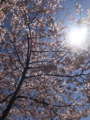 Sunshine Through Cherry Blossoms