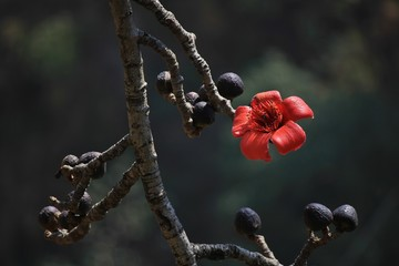 Red cotton tree flower photographed in Shyaphru Besi, Langtang National Park, Nepal.