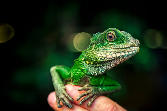 Close-up of a green beautiful lizard or Lacertilia  with big black eyes sitting on a finger