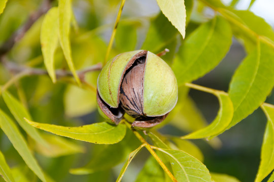 pecan nuts in the organic garden plant