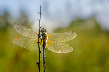 Dragonfly with straightened reticulated wings