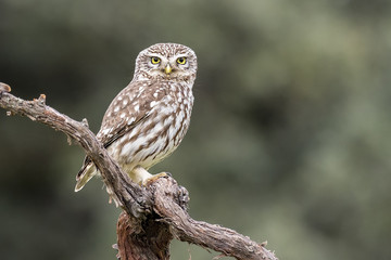 Athene noctua little owl