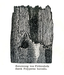 Wood damage caused by Climacocystis borealis (from Meyers Lexikon, 1896, 13/790/791)