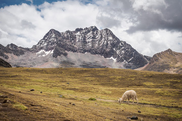 The hiking track with a wild alpaca in Vinicunca Rainbow Mountain - Peru