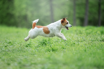 Fototapete - Happy funny terrier dog playing, running and jumping