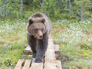 Brown bear (Ursus arctos) walking on duckboards